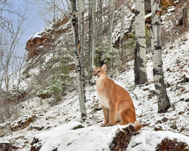 Mountain lion among birch trees in winter
