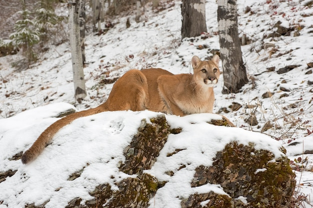 Mountain lion crouched down atop a boulder in snow, looking up