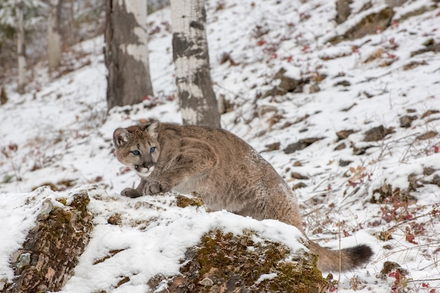 Mountain lion cub climbing up a rock in a snowy winter afternoon