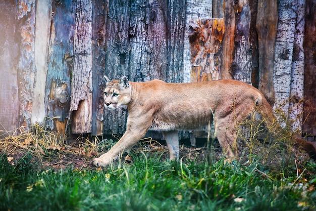 Горный лев на траве.