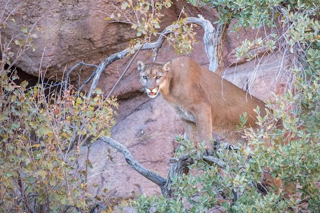 Mountain lion sitting in a tree near a rock wall