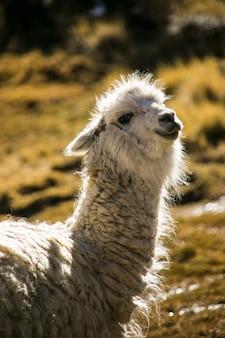 Mountain llama in cordillera real