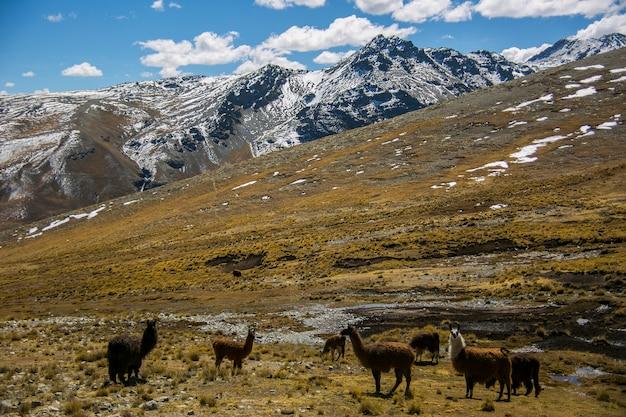 Cordillera real、アンデス、ボリビアからの山のラマ