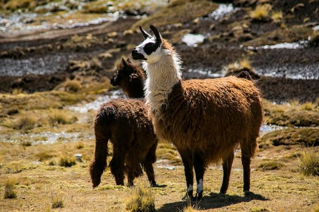 ボリビアのレアルアンデス山脈からの山のラマ