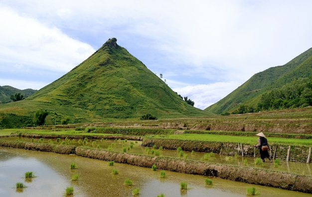 Mountain rice in vietnam