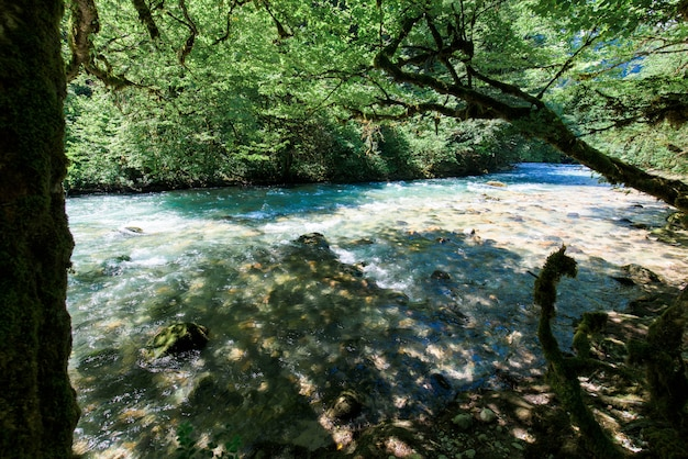 Mountain river and boxwood trees on the shore in abkhazia