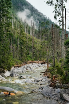 Mountain river flows between pine forests with fog on background, high tatras national park, poland