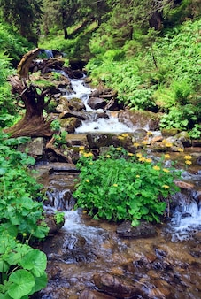 Mountain river in summer forest with bush of yellow flower (carpathian, ukraine)