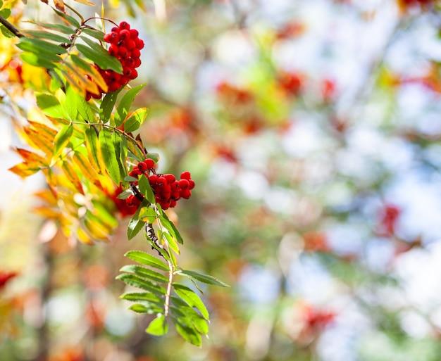 Ягоды ветви рябины ясеня на стертом зеленом фоне. осенний урожай натюрморт. фотография на заднем фоне с мягким фокусом. скопируйте пространство.