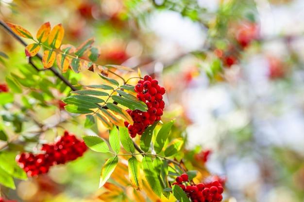 흐린 녹색 배경에 산 로완 애쉬 분기 열매입니다. 가 수확 정물 장면입니다. 소프트 포커스 배경 사진입니다. 공간을 복사합니다.