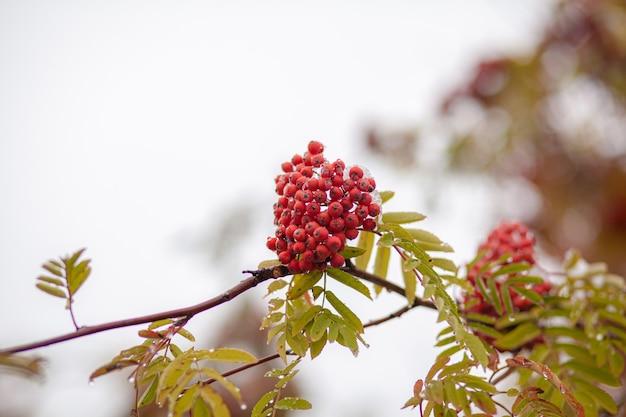 흐릿한 녹색 배경에 산 마가목 붉은 애쉬 가지 열매. 가 수확 정물 장면입니다. 소프트 포커스 배경 사진입니다. 공간을 복사합니다.