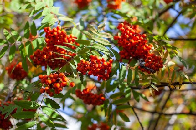 Ягоды ветви ясеня рябины горные красные на стертом зеленом фоне. осенний урожай натюрморт. фотография на заднем фоне с мягким фокусом. скопируйте пространство.