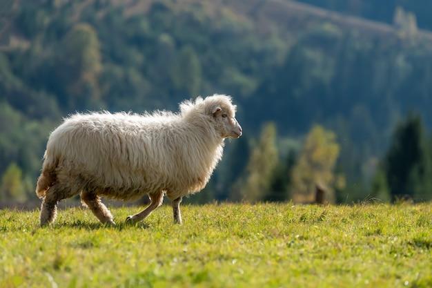 夏に牧草地で放牧するオオツノヒツジ。農業の概念