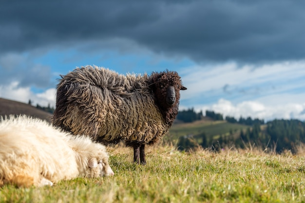 Горные овцы, пасущиеся на пастбище летом