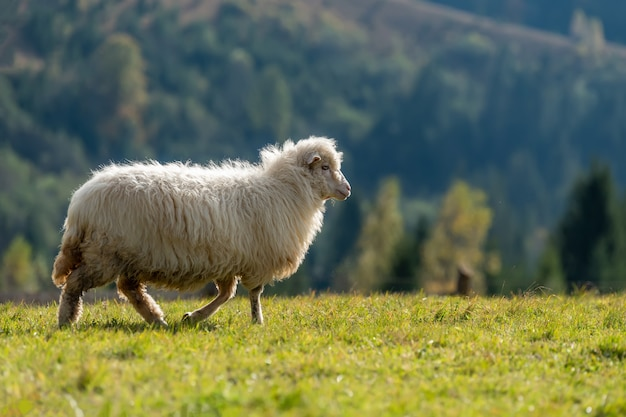 Mountain sheep grazing on pasture in summer. concept of agriculture