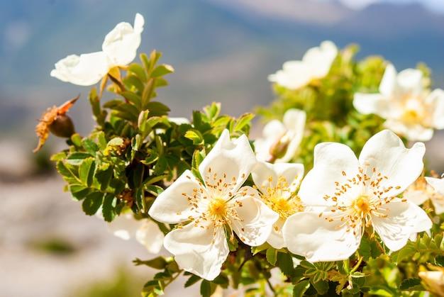 Горные весенние цветы гималаев