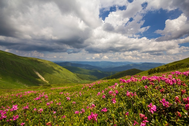 Mountain spring panorama with blooming rhododendron rue flowers and patches of snow under blue cloudy sky.