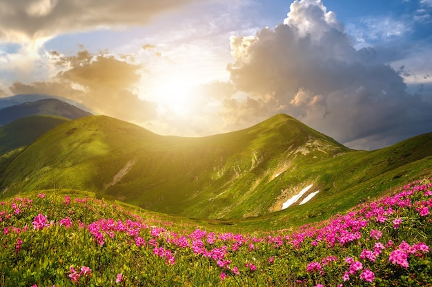 Mountain spring panorama with blooming rhododendron rue flowers and patches of snow under evening sunset sky.
