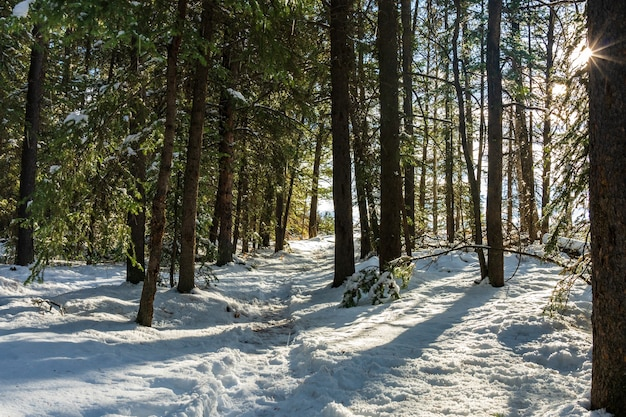 겨울 화창한 날 아침에 산길입니다. 숲에서 나무에 떨어지는 햇빛.
