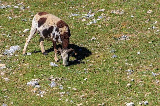 牧草地で放牧している山のトリコロールの角のあるヤギ
