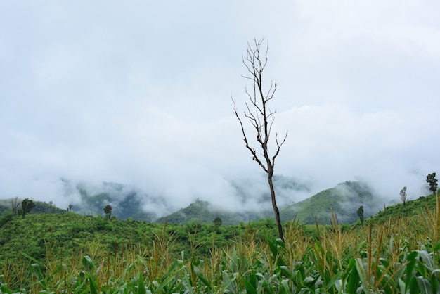 Mountain views and bright corn fields. on the day of dew. mountains and beautiful sky corn