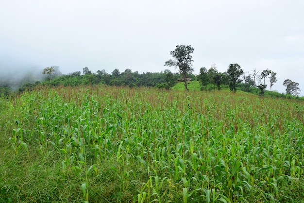 Mountain views and bright corn fields.