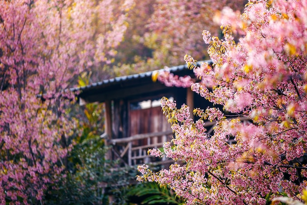 Mountain village with beautiful  pink cherry blossom , sakura flower blooming , khun chang kian , chiangmai , thailand