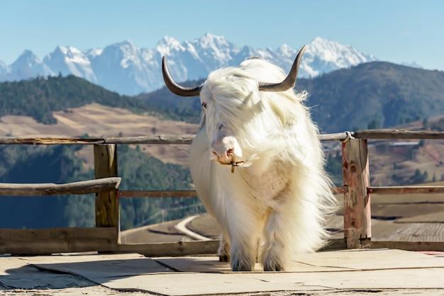 Mountain whit yak at shangri la