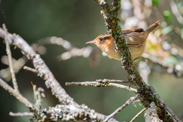 산 굴뚝새 (troglodytes solstitialis)가 나무의 높은 가지 사이를 뛰어 넘는 모습