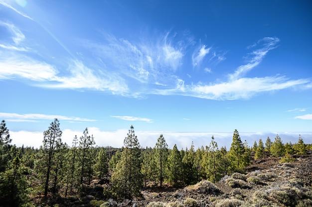 山と松の木の森、テイデ火山。国立公園。テネリフェ島、カナリア諸島