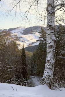 遠くに日光が降り注ぐアルタイ山脈のふもとの山々とトウヒの森