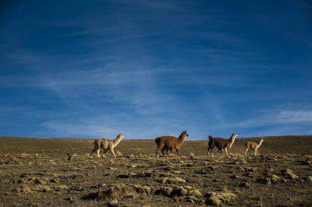 Горы ламы