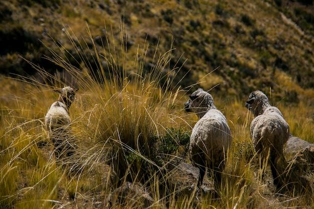 Cordillera real、アンデス、ボリビアからの山羊