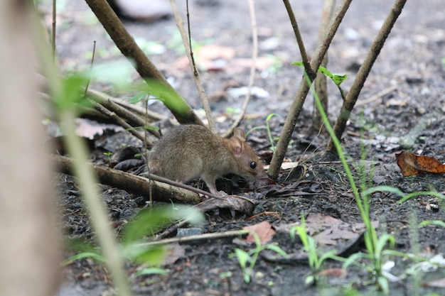 Mouse dirty animal near the tree in the garden finding some food in the environment