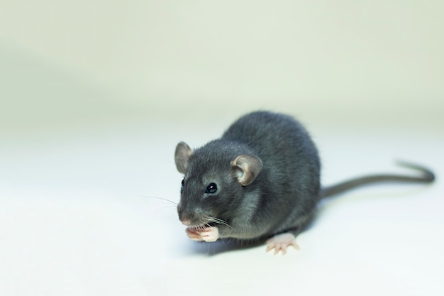 Mouse on a gray holding paws at the muzzle