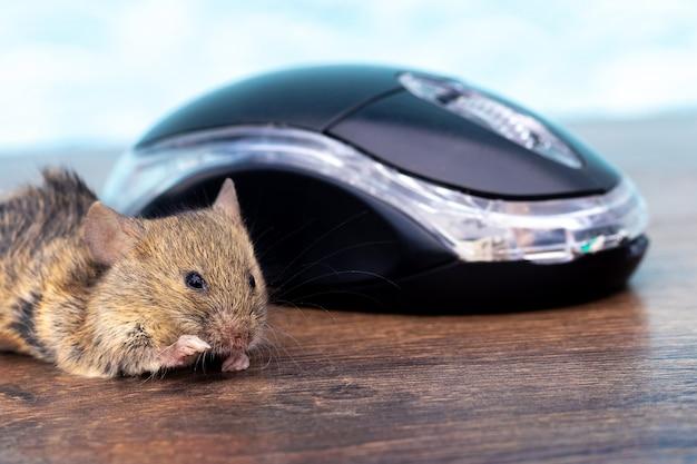 Мышь на столе возле компьютерной мыши