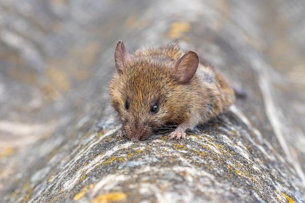 灰色のテクスチャ背景にマウスを置きます。マウス - 病気の原因物質。