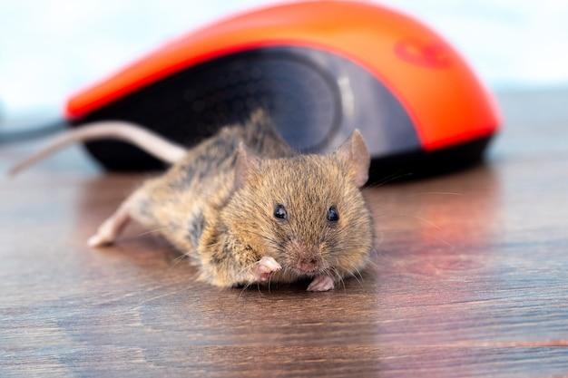 Мышь на офисном столе возле компьютерной мыши, работая в офисе