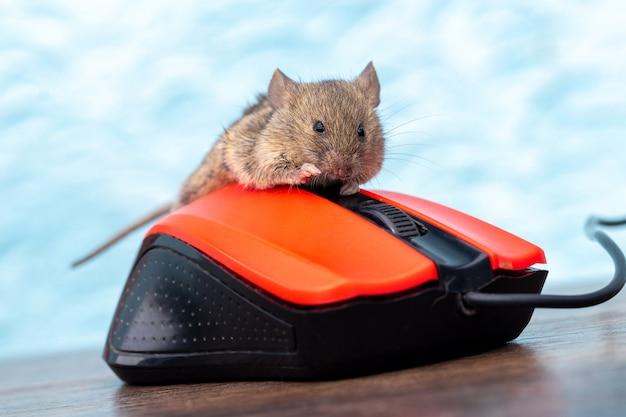 Мышь сидит на компьютерной мышке в офисе. работа за компьютером