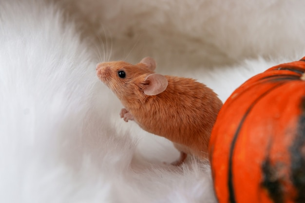 Mouse with pumpkin on a light background halloween concept