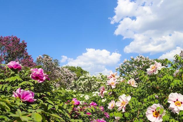 牡丹、牡丹、paeoniasuffruticosaの花
