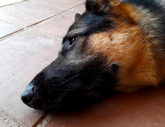 Mouth and nose of a german shepherd dog lying on the ground