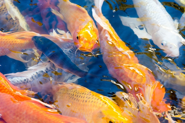 Movement of beautiful koi fish swimming in the pond