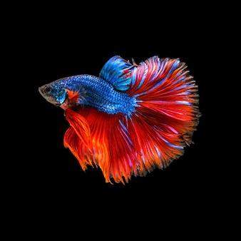 다채로운 샴 베타 물고기 또는 반달 베타 스플렌덴스 싸우는 물고기의 아름다운 움직임