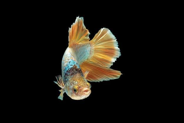 Movement of betta fish, siamese fighting fish, betta splendens isolated on black