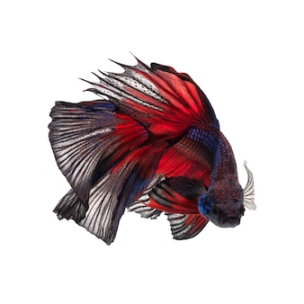 Movement of betta fish, siamese fighting fish, betta splendens isolated on white