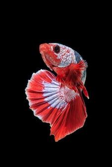 Movement of betta fish, siamese fighting fish, betta splendens isolated