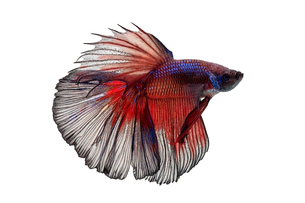 Movement of betta fish, siamese fighting fish, betta splendens isolated