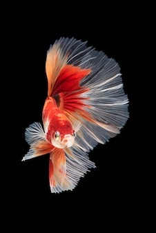 Movement of betta fish, siamese fighting fish, betta splendens