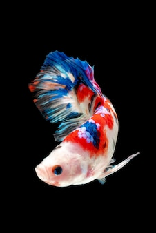 Movement of betta fish, siamese fighting fish